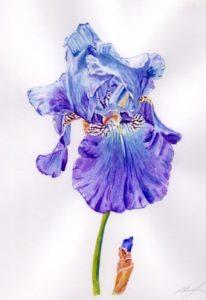 Iris - blue